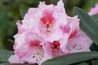 Rhododendron, Kromlauer Parkperle