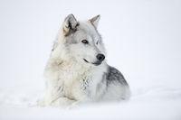 ein schönes Tier... Wolf *Canis lupus*
