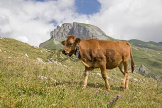 Einzelne Kuh in Savoyen