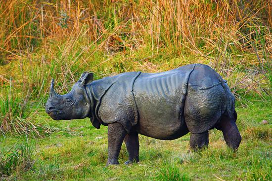 The Indian rhinoceros, Rhinoceros unicornis