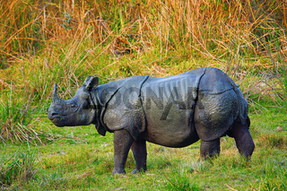 The Indian rhinoceros, Rhinoceros unicornis