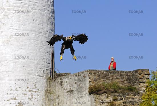 Schreiseeadler bei Raubvogel-Flugshow im Innenhof einer mittelalterlichen Burg