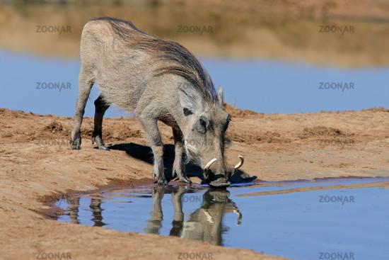 Warthog drinking