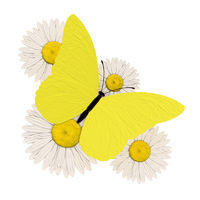 Yellow butterfly with four chamomile