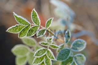 Frozen leaves with frost