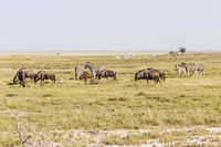 Streifengnu und Zebras, Blue Wildebeest and Zebras