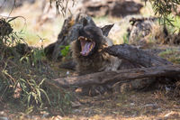a brown hyena Etosha National park namibia