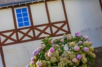 old brittany house with windows and hydrangea plant at the forefront