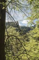 gruenende Buche, Boehmische Schweiz