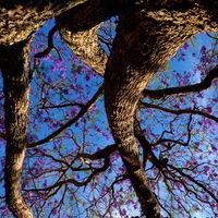 strange shape of  flamboyant tree, violet flower
