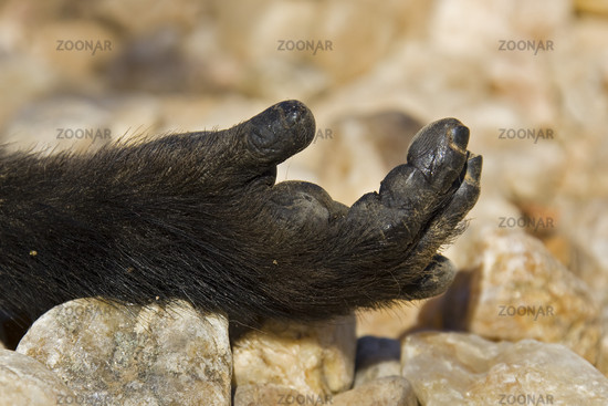 Hand eines Steppenpavians (Papio cynocephalus), Namibia, Afrika, Hand of a Yellow Baboon, Africa