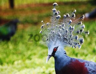 Portrait of Western crowned pigeon