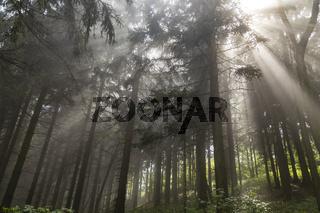 Wald nach dem Regen, Forest after Rain