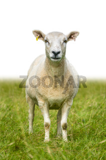 Isolated Sheep In Grass