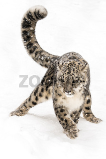 Snow Leopard on the Prowl VIII