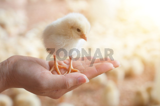 Caring for a small chicken