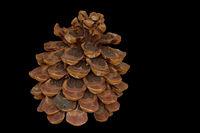 Kiefernzapfen (Pinus)