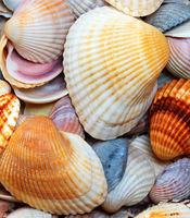 Shells of anadara at summer day
