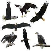 Bald eagles on  white background