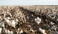 Cotton Boll Farm Field Texas Agriculture Cash Crop