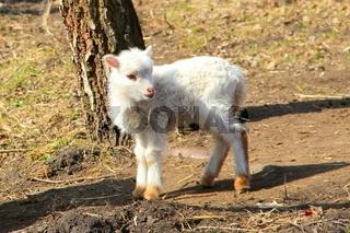 Osterlamm. easter lamb.