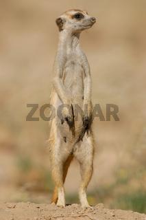 Suricate (meerkat)