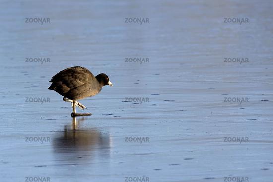 Blaesshuhn auf dem Eis