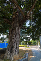 Huge exotic deciduous tree with airy roots in street