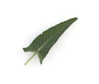 Salbei, Salvia canariensis, Blatt