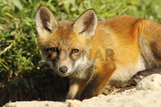 curious young fox looking at the camera ( Vulpes vulpes )