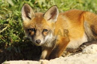curious young fox looking at the camera ( Vulpes vulpes )