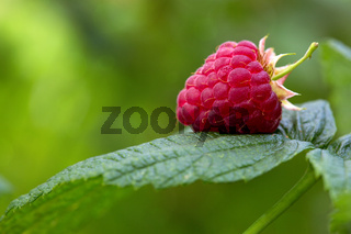 Raspberry with leaves on a green background.