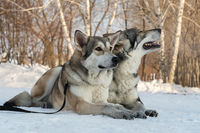 Beautiful male and female of Saarloos wolfhound in winter park