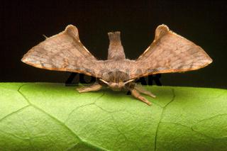 Moth , Aarey Milk Colony , INDIA