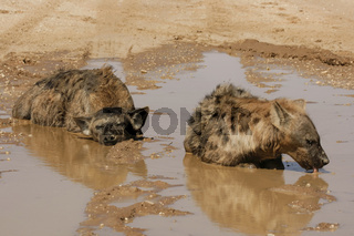 Spotted Hyaena - bathing - Kalahari-South Africa