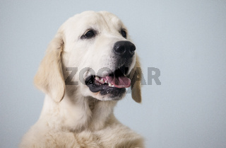 Golden Retriever dog portrait