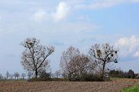 Baumgruppe mit Misteln im Geäst im Vorfrühling