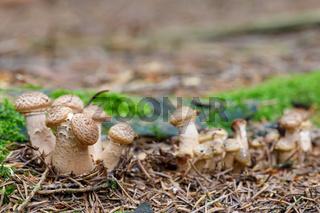 Mushrooms Armillaria ostoyae in autumn forest