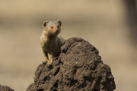 Dwarf Mongoose standing on a termite mound in which the animal burrows are living here