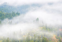 Pine Forest Misty background