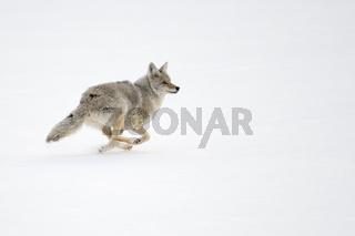 auf der Flucht... Kojote *Canis latrans*