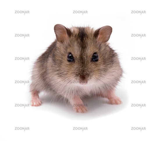 little dwarf hamster