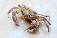 Freshwater land crab