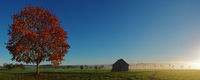 Ahornbaum in der Morgensonne