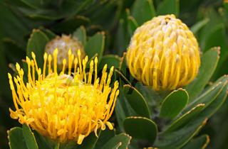 Gelbe Protea, Südafrika, South Africa