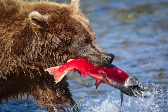 Close up of an Alaskan brown bear (grizzly bear) feeding on a salmon, Moraine Creek, Katmai National