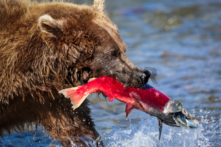 Close up of an Alaskan brown bear (grizzly bear) feeding on a salmon, Moraine Creek, Katmai National