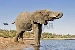 Afrikanischer Elefant (Loxodonta africana) beim Trinken am Chobe Fluss, Chobe-Nationalpark, Botsuana, Afrika, African Elephants are drinking at Chobe River, Botsuana, Africa