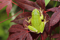 green tree frog standing on japanese maple leaf ( Hyla arborea )