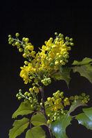 Mahonie; Mahonia, aquifolium